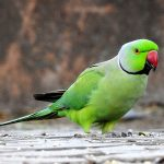 Birds Name in Hindi and English with Pictures पक्षियों के नाम 11