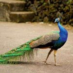 Birds Name in Hindi and English with Pictures पक्षियों के नाम 12