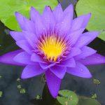 Flowers Name in Hindi फूलों के नाम हिंदी और इंग्लिश में। 29