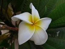 Flowers Name in Hindi फूलों के नाम हिंदी और इंग्लिश में। 27