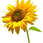 Flowers Name in Hindi फूलों के नाम हिंदी और इंग्लिश में। 28