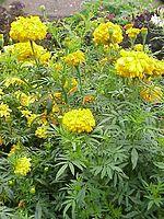 Flowers Name in Hindi फूलों के नाम हिंदी और इंग्लिश में। 7