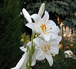Flowers Name in Hindi फूलों के नाम हिंदी और इंग्लिश में। 14