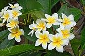 Flowers Name in Hindi फूलों के नाम हिंदी और इंग्लिश में। 6