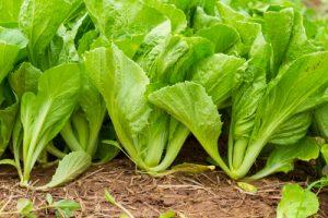 Vegetables Name in Hindi and English With Pictures सब्जियों के नाम इंग्लिश और हिंदी में 81